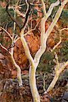 Arbres à Ormiston Gorge dans les West MacDonnell Ranges, territoire du Nord, Australie