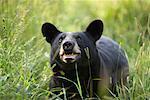Black Bear Cub, Northern Minnesota, USA