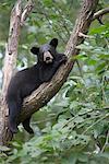 Black Bear Cub in Tree, Northern Minnesota, USA