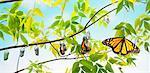 Métamorphose d'un papillon