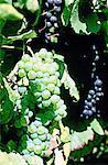 France, Moussy, vignoble de la région Champagne,