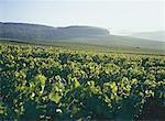 France, le vignoble champenois, Champignol, au lever du soleil