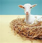Lamb lying in nest