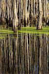 Cypress Swamp Bäume, Louisiana Purchase State Park, Arkansas, USA