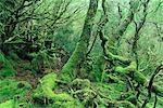 Temperate Rainforest, Cradle Mountain Lake St. Clair National Park, Tasmania