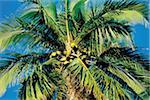 Polynésie française, l'île de Moorea, palmier