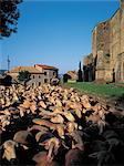 France, Aveyron, Saint Jean d'Alcas, troupeau de moutons