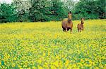 Chevaux de France, Normandie, dans un champ