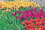 Tulipes de Norvège, Oslo,