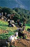 France, chèvres Corse, près de Piana,