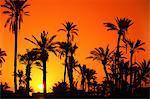 Morroco, Marrakech, palm tree