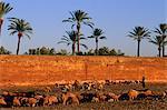 Morroco, Marrakech, sheeps