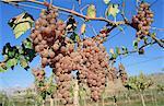 Chile, Valle del Elqui, la Serena, vineyard.