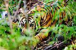 Tigre traque