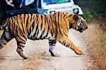 Tiger Crossing Road, Bandhavgarh National Park, Madhya Pradesh, India