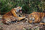 Tigres de sommeil