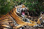Tigre bâillement