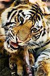 Tiger manger