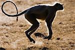 Langur Monkey Jumping