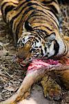 Tiger with Sambar Deer Kill, Bandhavgarh National Park, Madhya Pradesh, India