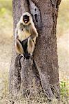 Monkey, Bandhavgarh National Park, Madhya Pradesh, India