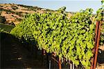 Vineyard on the hillside