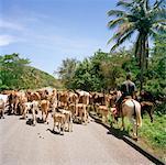 Man Herding Cows