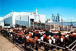Boeuf de Monfort, conditionnement de la viande végétale Greeley, Colorado