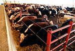 Parc d'engraissement de vache, OH