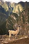 Alpaga, Machu Picchu, Pérou