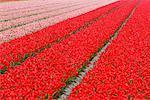Tulip champ, Lisse, Hollande, Pays-Bas