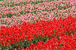 Tulip Field, Lisse, Holland, Netherlands