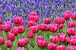 Tulipes et muscari, jardins de Keukenhof, Hollande, Pays-Bas