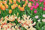 Tulipes, jardins de Keukenhof, Hollande, Pays-Bas