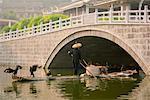 Cormoran pêcheur, Yangshuo, Guangxi Province, China