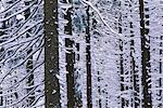 Trees in Winter, Brocken, Hochharz National Park