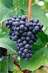 Grape Bunch
