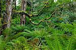 Forêt, Otway National Park, Victoria, Australie