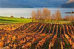 Vineyard and Lake, Lake Wanaka, Wanaka, Otago, South Island, New Zealand