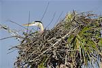 Great Blue Heron in Marsh, Florida, USA