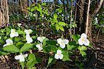Trilliums, Ontario, Canada