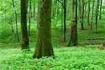 Laubwald im Frühjahr, Spessart, Bayern, Deutschland