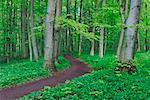 Weg durch Wald, Nationalpark Hainich, Thüringen, Deutschland