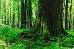 Großen Baumstamm in Wald, Nationalpark Hainich, Thüringen, Deutschland
