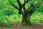 Alte Buche im Wald, Nationalpark Kellerwald-Edersee, Hessen, Deutschland