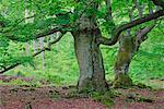 Alte Buche Bäume im Wald, Nationalpark Kellerwald-Edersee, Hessen, Deutschland