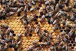 Abeilles en nid d'abeille