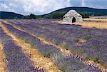 Lavender Field Near Ferrassieres, Provence, France