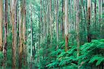 Mountain Ash Forest, Parc National des Yarra Ranges, Victoria, Australie