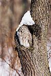 Ural Owl dans l'arborescence